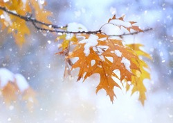 Beautiful branch with orange and yellow leaves in late fall or early winter under the snow. First snow, snow flakes fall, gentle blurred romantic light blue background, close-up