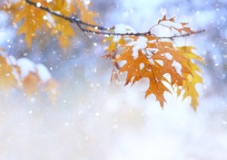 Beautiful branch with orange and yellow leaves in late fall or early winter under the snow. First snow, snow flakes fall, gentle blurred romantic light blue background for design