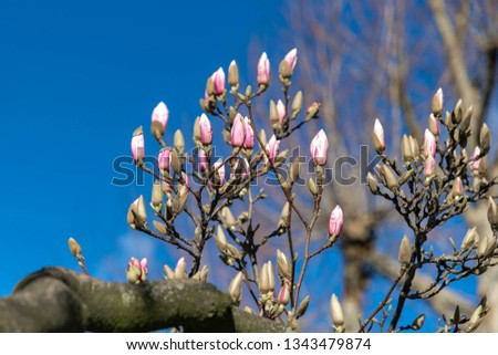 Beautiful branches buds of Magnolia with blue sky background, The flower is blooming in spring, Purple flowers blooms in the park. #1343479874