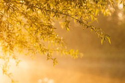 Beautiful branches of fresh green dewy willow tree in foreground in soft sunrise sunlight backlight isolated at blurry scenic early morning sunny foggy water surface of river in background