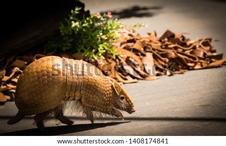 Beautiful Brazilian three-banded armadillo which is the only mammal with shell #1408174841