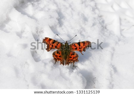 Beautiful bright butterfly on the white snow. Winter and summer symbols on the one picture; Nature miracle; Springtime is coming; Frozen insect butterfly can not fly; not in time to appear or be born