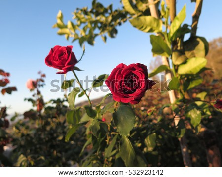 Beautiful bright fresh red rose in Spanish garden #532923142
