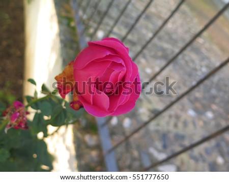 Beautiful bright fresh red rose in Spanish garden #551777650