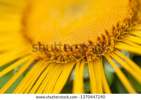 beautiful bright funny flower elecampane with delicate delicate petals #1370447240