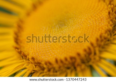 beautiful bright funny flower elecampane with delicate delicate petals #1370447243