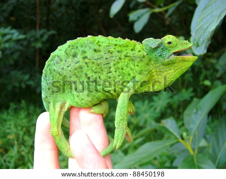 Beautiful bright green Jackson's Chameleon lizard, Chamaeleo jacksonii, gaping mouth open defensively on a man's hand