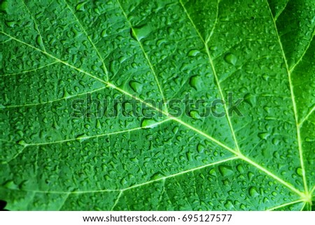 Beautiful bright green leaf of foxglove tree close up with drops of rain water. Courtyard tree the Chinese princess (Paulownia tomentosa). #695127577