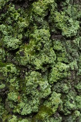 Beautiful bright green moss growing on a tree bark in a forest. Moss texture in nature for wallpaper. close-up. green moss