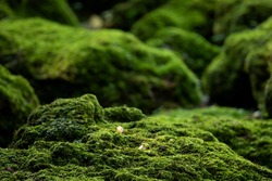Beautiful Bright Green moss grown up cover the rough stones and on the floor in the forest. Show with macro view. Rocks full of the moss texture in nature for wallpaper. soft focus.