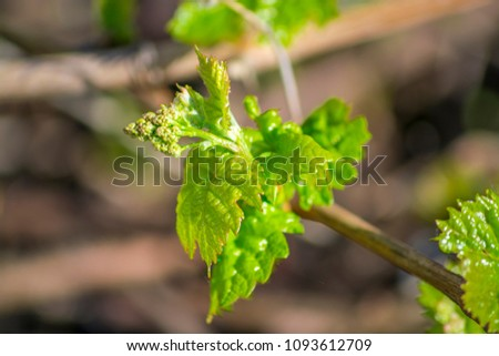 Beautiful bright green vine leaves close-up