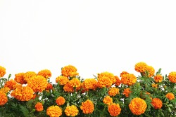 Beautiful bright orange marigold flowers field isolated on white background with copy space. Floral border with clipping path. Blooming herbal plant marigold garden flowerbed.