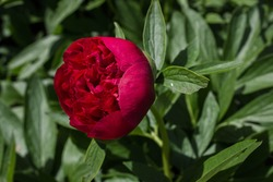Beautiful bright peony flowers in the flower garden. two Maroon blooming peonies in the garden on a blurred background of green peony leaves close up in spring
