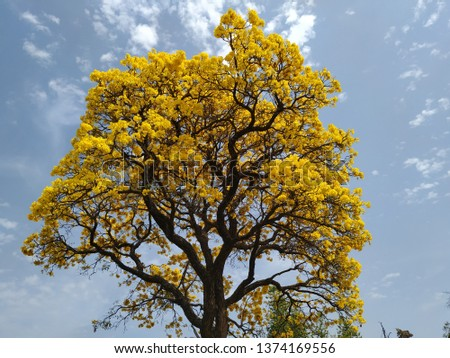 beautiful bright pic of a yellow flower tree with sky as background