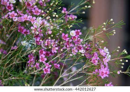 Beautiful Bright Pink And White Wax Flowers Chamelaucium Ez Canvas