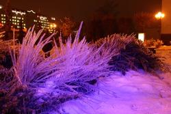 Beautiful bright purple illuminated ice laminated bushes on city lantern background after icy rain on a winter night Park outdoor