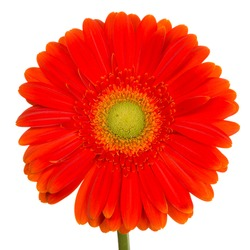 beautiful bright red gerbera flower with yellow center on a white background