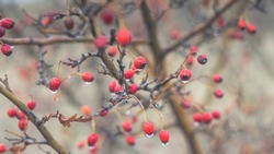 Beautiful bright red hawthorn berries in late autumn after rain. Dew drops on red berries. The photo was taken by the Soviet old manual lenses.