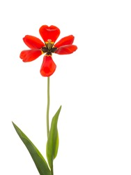 beautiful bright red tulip flower with a black and yellow center and stamens on a green stem fully open on a white background