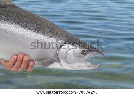 Beautiful bright silver salmon being released back to the water