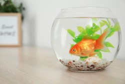 Beautiful bright small goldfish in round glass aquarium on wooden table. Space for text