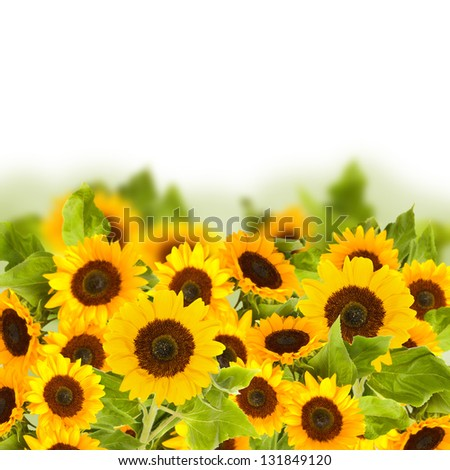 beautiful bright sunflower field  isolated on white background
