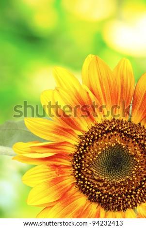 beautiful bright sunflowers on green background