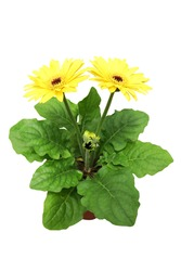 Beautiful bright yellow Gerbera flower in the pot isolated on white background.