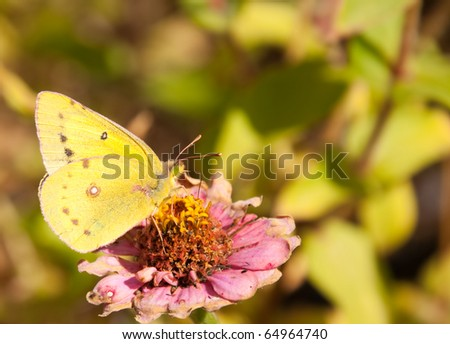 beautiful bright yellow Orange Sulphur butterfly feeding on a faded pink Zinnia against muted green fall garden background