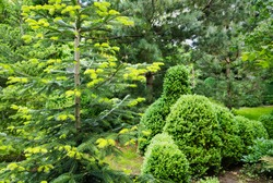 Beautiful bright young needles on dark green branches of coniferous tree fir Abies nordmanniana with trimmed boxwood Buxus sempervirens bushes. Caucasian Fir or Christmas tree in garden.