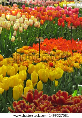 Beautiful brightly coloured tulips. Netherlands #1499327081