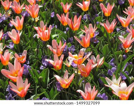 Beautiful brightly coloured tulips. Netherlands #1499327099