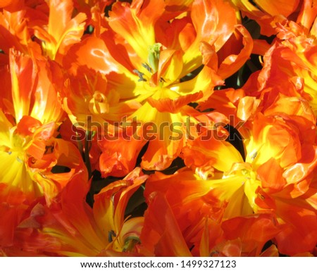 Beautiful brightly coloured tulips. Netherlands #1499327123