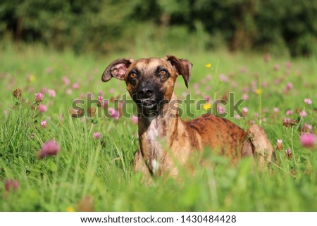 beautiful brindle whippet is lying in a clover field #1430484428