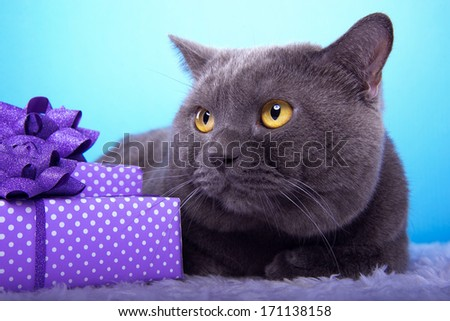Beautiful british cat with present boxes.
