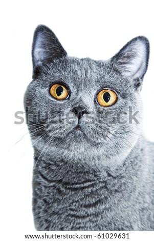 beautiful British cat with yellow eyes isolated on white background