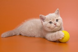 Beautiful British cream kitten with plush thick fur on an orange background with a smart look with a yellow ball
