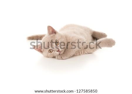 beautiful British kitten lying on the floor