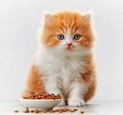 beautiful british long hair kitten and bowl of cat food