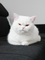 Beautiful British Shorthair cat. Snow white with orange eyes.