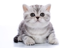 beautiful british shorthair kitten black silver marble in funny poses on a white background isolated