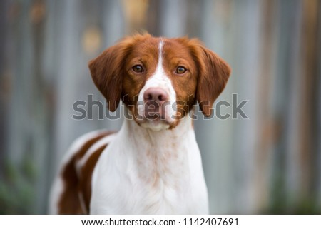 Beautiful Brittany portrait with an old wooden background.