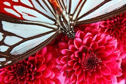 Beautiful Brown and Black Butterfly (lepidoptera) on a Bright Red Chrysanthemum Flower
