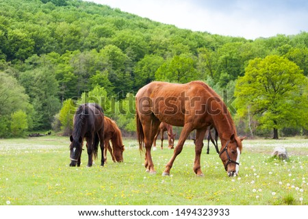 Beautiful brown and black horses eating grass and grazing in a meadow and green field. Foto d'archivio ©