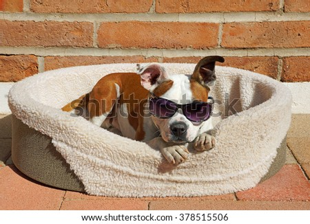 Beautiful brown and white bulldog cross dog wears his sunglasses while he relaxes in his bed in the sunshine #378515506