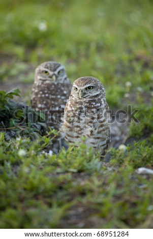 Beautiful brown and white Burrowing Owls with yellow eyes  in early morning light standing in grass and weeds