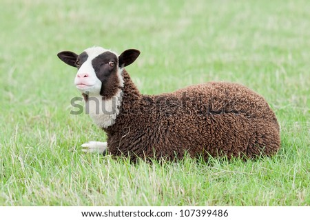 Beautiful brown and white sheep