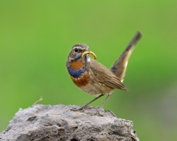 Beautiful brown bird with orange and blue colors on chest standing on rock carrying worm meal and wagged tail over bur green backgroundl, Blue throat (Luscinia svecica)