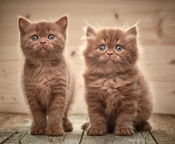 beautiful brown british kittens on wooden floor