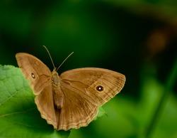 Beautiful brown butterfly on leaf. dark brand bush brown ( mycalesis mineus ).